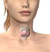 Sköldkörteln är fjärilsformad och sitter strax nedanför struphuvudet