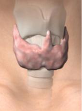 Sköldkörtel hos människa